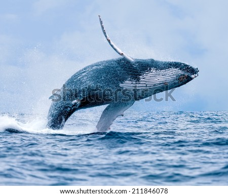 Humpback Whale (Megaptera novaeangliae) breaching at Puerto Lopez, Ecuador. - stock photo