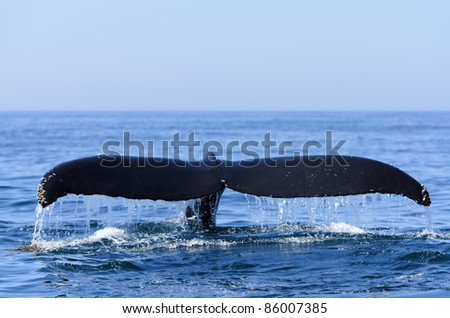 Humpback whale (Megaptera novaeangliae)  in the Bay of Fundy Nova Scotia Canada