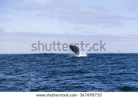 Humpback whale (Megaptera novaeangliae) jumping out of water in Monterey bay, California - stock photo