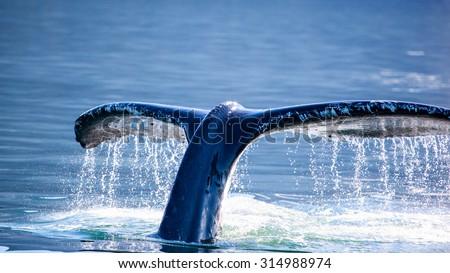 Humpback Whale (Megaptera novaeangliae) tail, Juneau, Alaska - stock photo