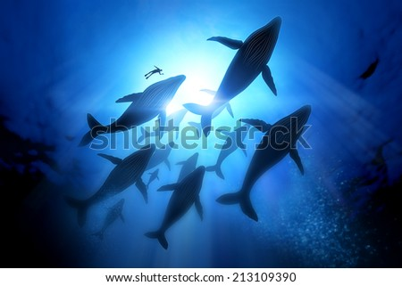 Humpback Whale Migration, A diver with a pod of humpback whales. - stock photo
