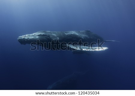 Humpback whale mother - stock photo