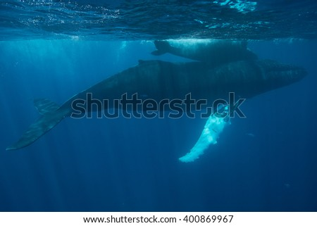 Humpback whale mother and calf (Megaptera novaeangliae) swim near the surface of the Atlantic Ocean. Many Atlantic Humpbacks feed in the nutrient-rich waters off New England and Newfoundland.