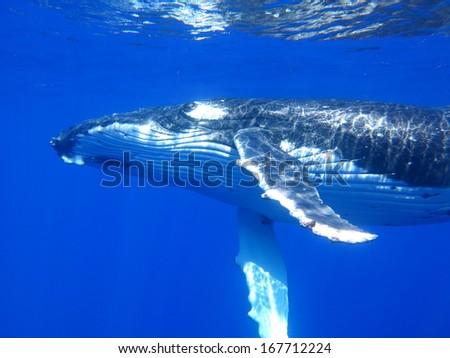 Humpback whale, scuba diving Tahiti - stock photo
