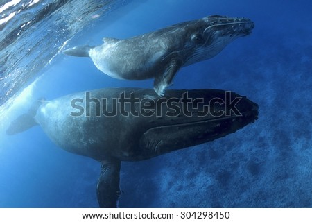 HUMPBACK WHALE SWIMMING ON A CLEAR BLUE WATER - stock photo