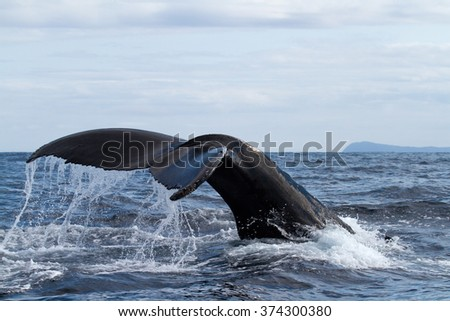 Humpback whale tail. - stock photo