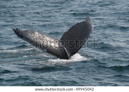 humpback whale tail - stock photo