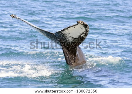 Humpback whale tail in Skjalfandi bay in iceland - The humpback whale (Megaptera novaeangliae) is a species of baleen whale.  Adults range in length from 12-16 metres and weigh 36,000 kilograms - stock photo