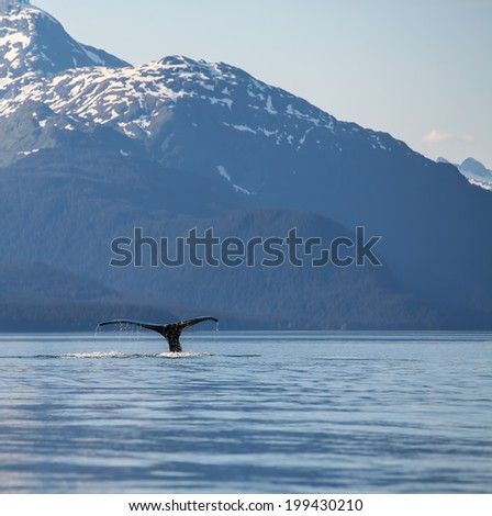 Humpback whale tail in  Southeast Alaska with mountains in the background.