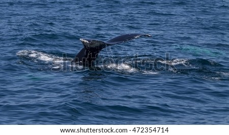 Humpback whale tail, selected focus