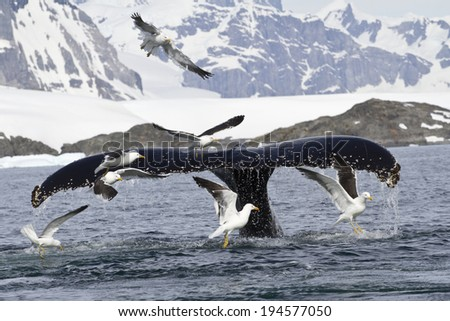 humpback whale tail that dives during feeding in Antarctic Islands 1 - stock photo