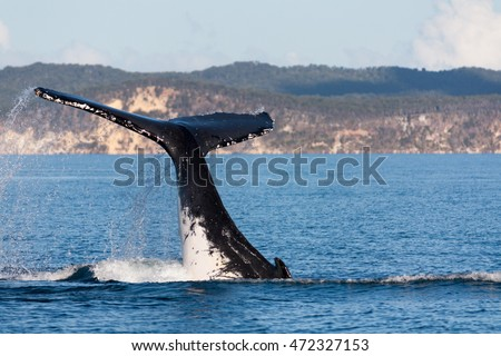 Humpback whale tail thrashing in Hervey Bay, Queensland, Australia