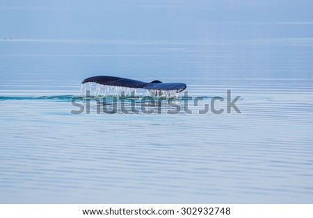 Humpback whale tale - stock photo