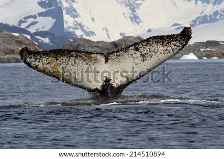 humpback whale which dives into the Antarctic waters with a raised tail - stock photo