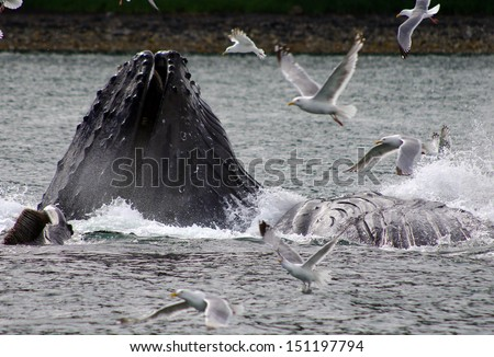 humpback whales feeding hering - stock photo