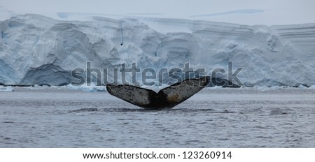 Humpback Whales in the Antarctic Sea - stock photo
