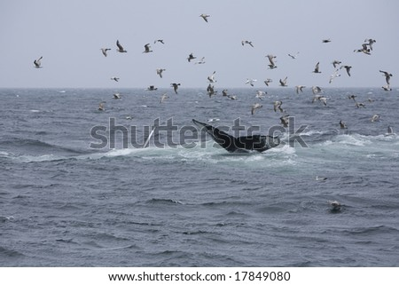 Humpback whales (Megaptera), diving or kick feeding, displaying their flukes (tails)