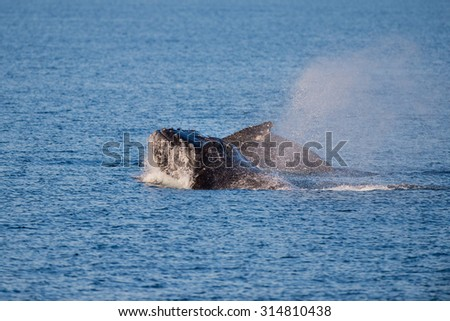Humpback whales swimming in West Australia