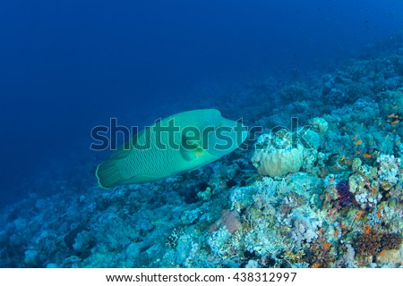 Humphead wrasse (Cheilinus undulatus) of Red Sea.