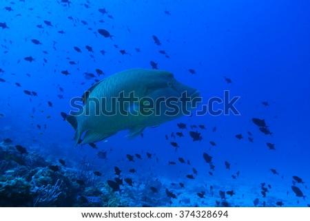 Humphead wrasse fish (Cheilinus undulatus) in the tropical coral reef  - stock photo