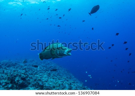 Humphead wrasse  open mouth in blue underwater - stock photo