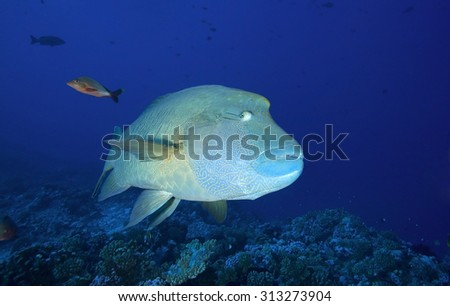 HUMPHEAD WRASSE SWIMMING ON CORAL REEF IN CLEAR BLUE WATER