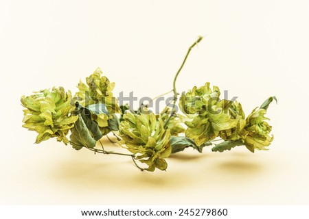 Humulus, hop, is a small genus of flowering plants in family Cannabaceae. Hop is native to temperate regions of Northern Hemisphere. - stock photo