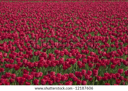 Hundreds of red tulips in a field at the Skagit Valley Tulip Festival.
