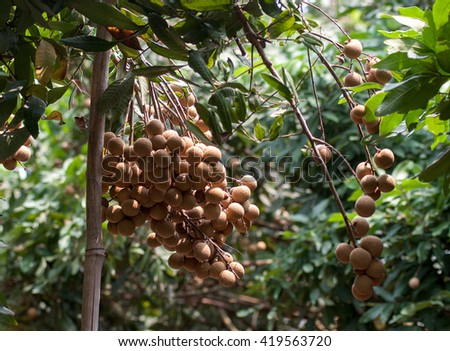 HUNG YEN, VIET NAM, July 24, 2015 Label plants, specialty, longan, Hung Yen Province, Vietnam