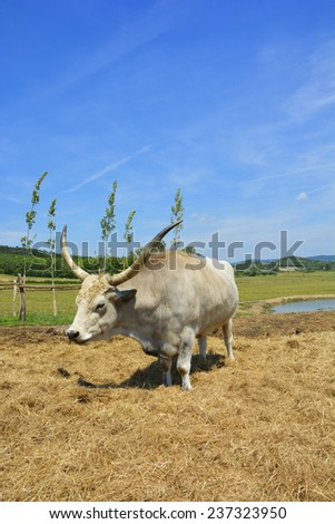 Hungarian Gray Cattle  - stock photo