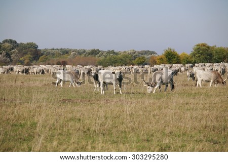 Hungarian gray cattle cows with calves grazing on pasture summertime - stock photo