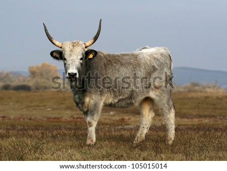 Hungarian grey cattle standing on the field - stock photo