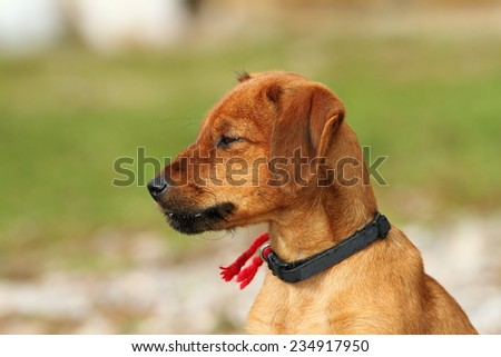 hungarian hunting dog ( vizsla ) outdoor portrait, cute puppy over green natural background - stock photo