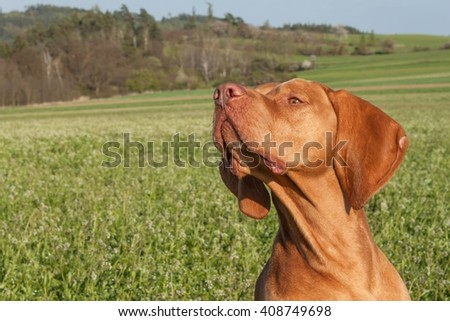 Hungarian hunting hound on a greenfield site. Spring sunny day on hunting with dogs. Viszla on a green field. Hound. - stock photo