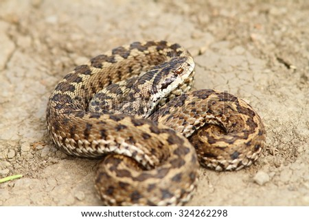 hungarian meadow adder ready to strike ( Vipera ursinii rakosiensis ), endangered species from IUCN red list