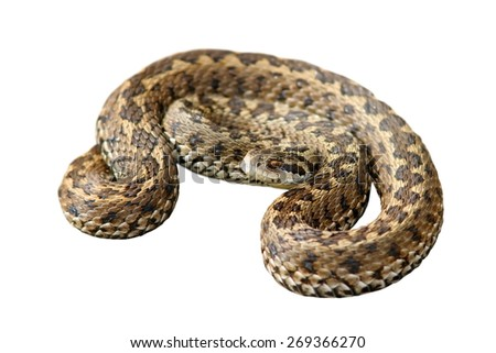 hungarian meadow viper ( Vipera ursinii rakosiensis ) isolated over white background