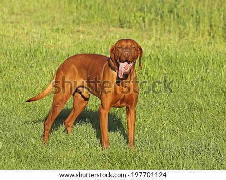 Hungarian pointer (vizsla) dog stand on a meadow