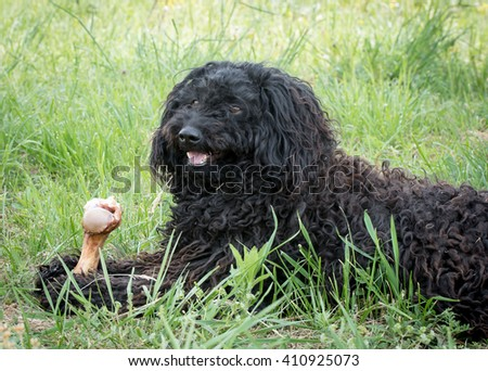 Hungarian Puli eating bone