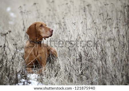 Hungarian Viszla pointer dog - stock photo