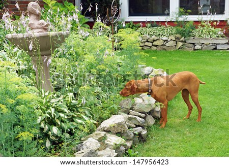 Hungarian vizla peers intently into the garden as he hunts for rodents