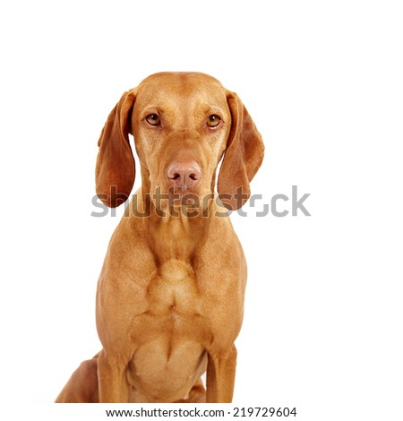 Hungarian Vizsla pointer dog on white background - stock photo