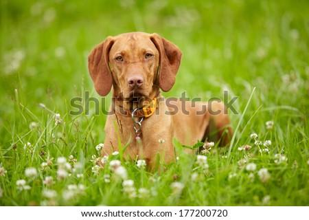 Hungarian Vizsla pointer dog outdoor - stock photo