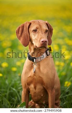 Hungarian Vizsla pointer dog outdoor. Low DOF - stock photo
