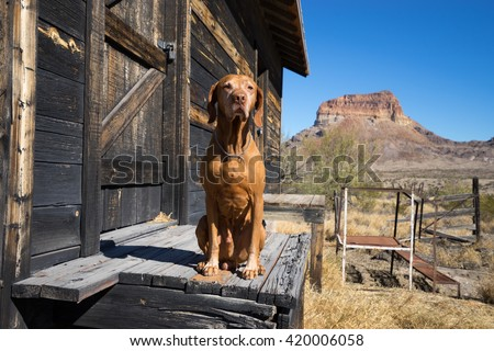 hungarian vizsla sitting on the porch of a barn in big bend texas