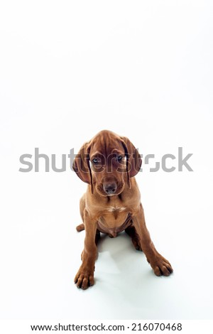 Hungarian Wire-haired Vizsla puppy isolated on white - stock photo