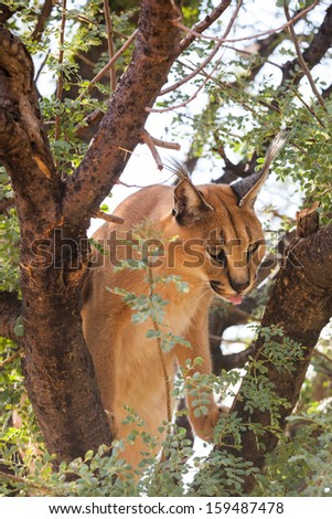 hungry african caracal on a branch leaking his mouth with his tongue, Namibia - stock photo