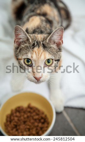 Hungry and thin stray calico tortoiseshell tabby cat with scars on nose looking up and making eye contact while eating dry food from a yellow bowl on the floor - stock photo