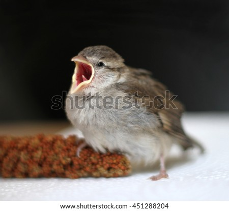 Hungry baby sparrow - stock photo