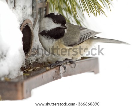 Hungry bird feeding at bird feeder after a snow blizzard.  Black Capped Chickadee - stock photo
