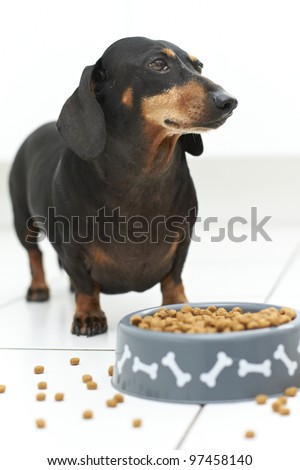 Hungry black Dachshund dog with full bowl of food - stock photo